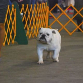 Pin By Jennifer Dauber Bender On My Favorite Pets French Bulldog Pets Bulldog