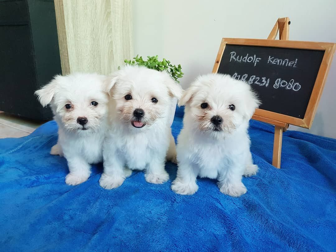 Shih Tzu Puppies For Sale In Pa Craigslist