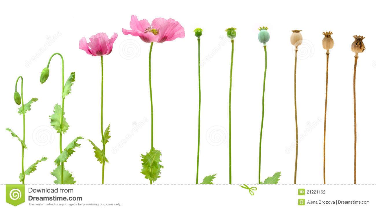 Opium Poppy Google Search Inspiration Pinterest