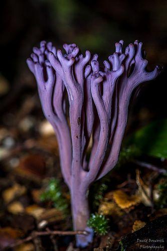 Violet Coral Fungus (Clavaria zollingeri) MUSHROOMS / FUNGI : More At FOSTERGINGER @ Pinterest