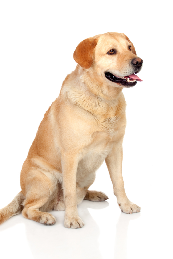 Beautiful Labrador Retriever Adult Isolated On White Background Labradorretriever Golden Retriever Labrador Labrador Labrador Retriever