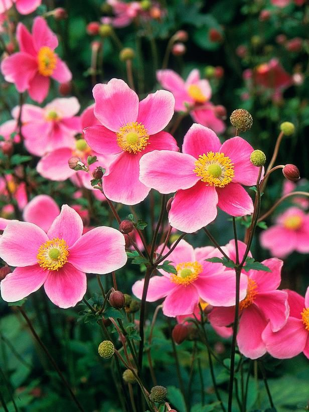 Cottage Garden Plants Types Of Flowers Cottage Garden Plants Flowers Perennials