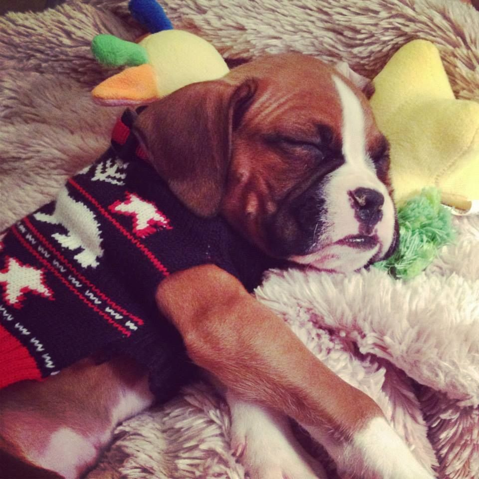 Boxer Puppy Baby Stone Only 5 Lbs Christmas Sweater Baby Toy Baby Puppies Christmas Puppy Sweater Puppy