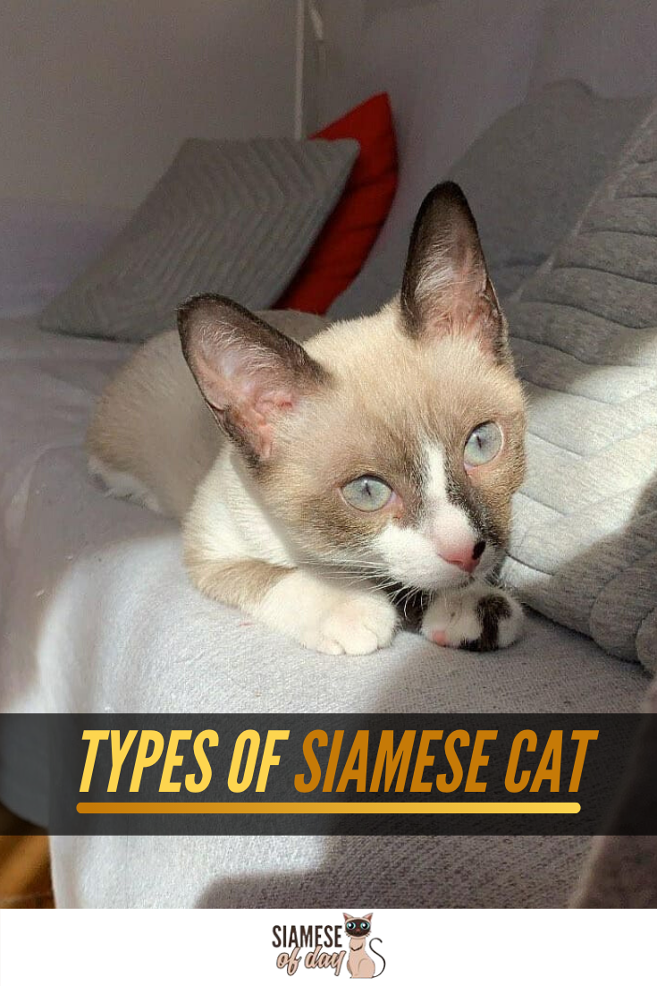 How many types of Siamese are there?[Here's the answer