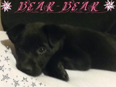 Chow Pitbull Lab Mix Cute Dogs