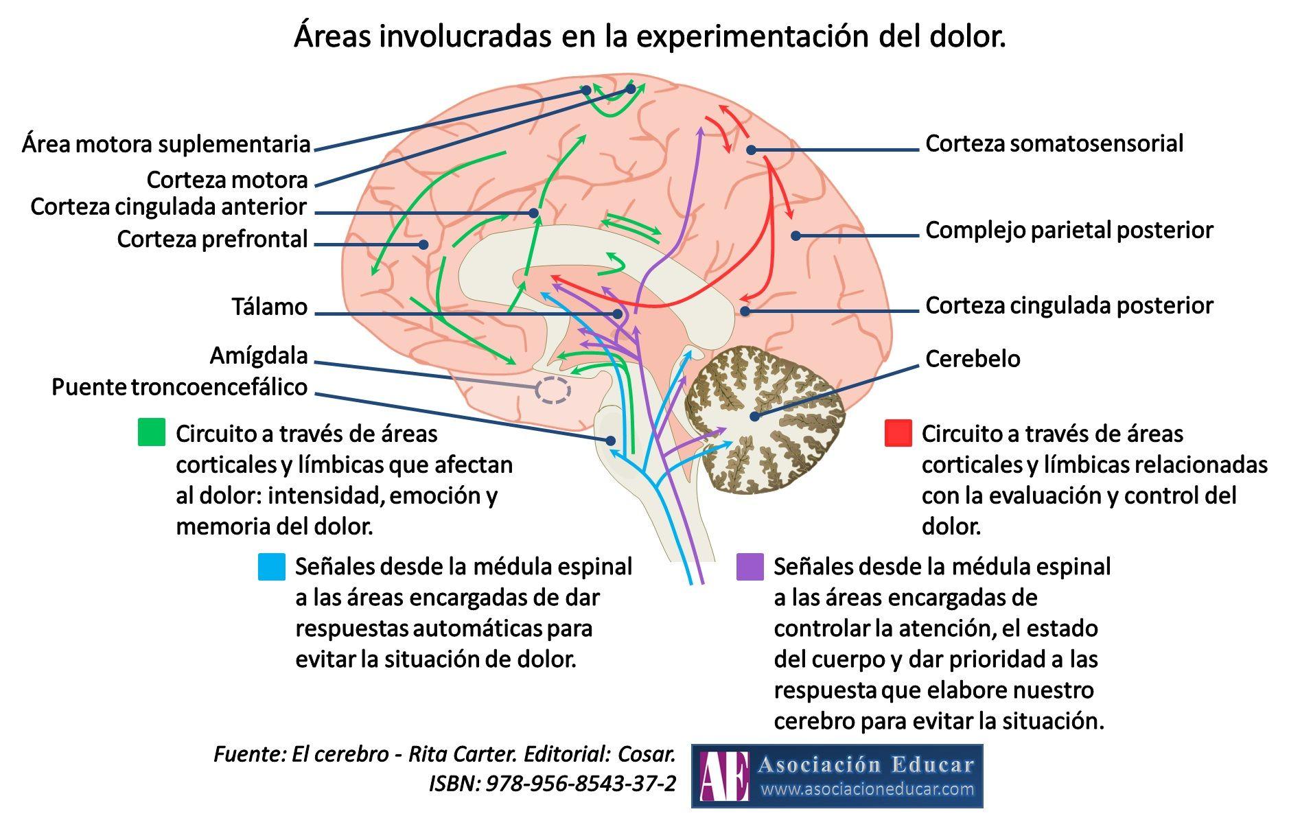 Infografía Neurociencias: Áreas involucradas en la experimentación ...