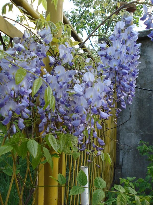 Svet Biljaka Forums Bastenske Biljke Puzavice Glicinija Wisteria Wisteria Plants Garden