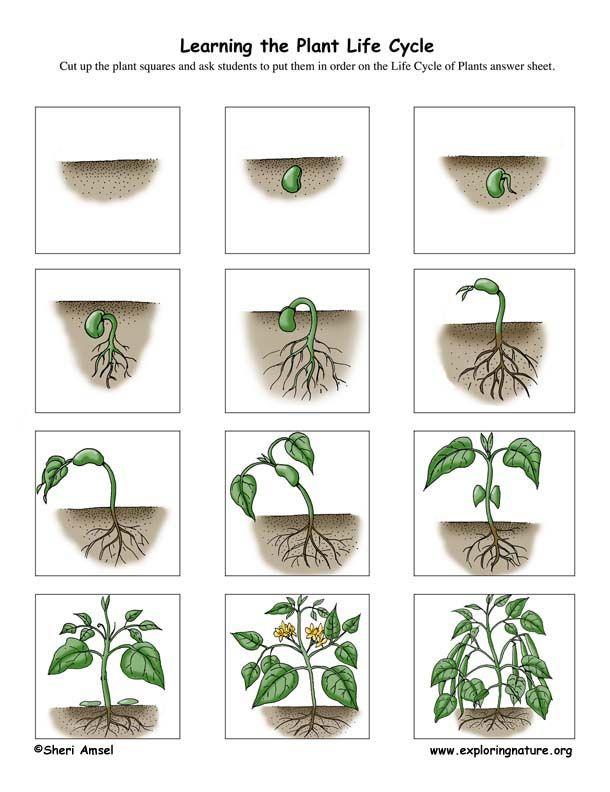 Plant Life Cycle Activity (K-3) | Gardening and Plantation Unit ...