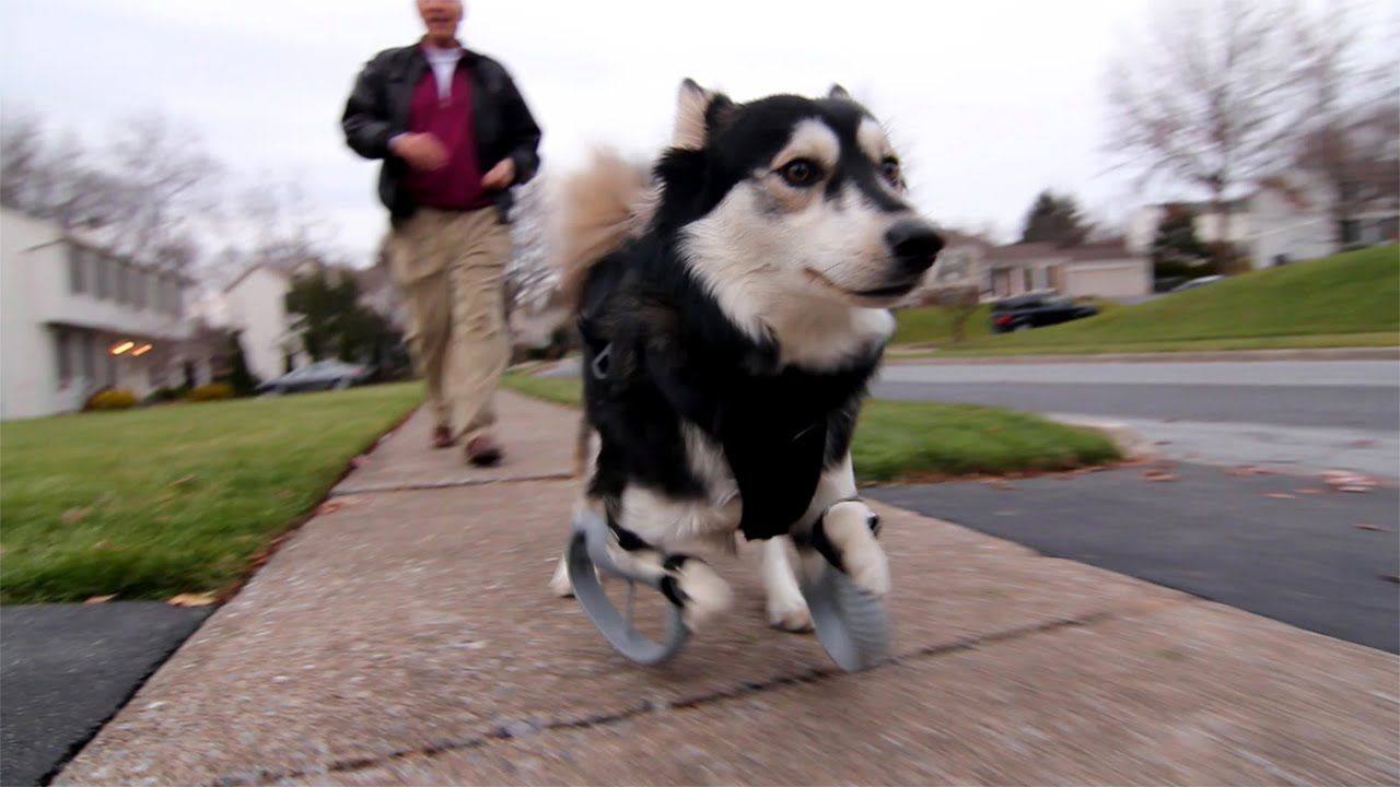 Rescue Dog With Deformed Front Legs Is Now Able To Run With The