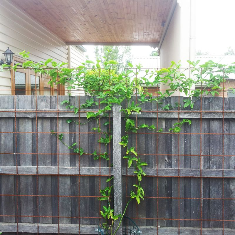 Passionfruit Vine Vertical Garden Google Search