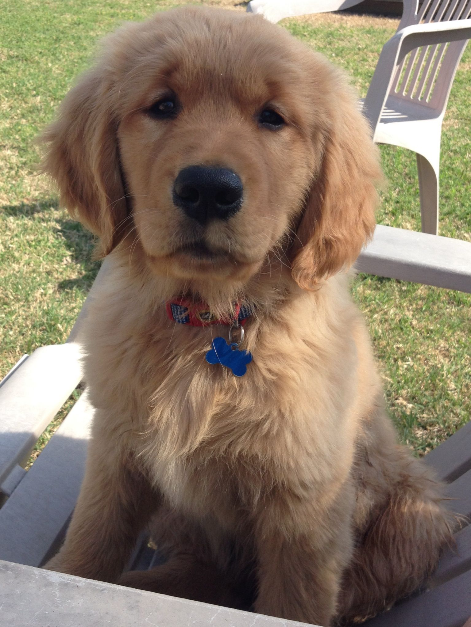 Golden retriever puppy jake golden retriever puppy