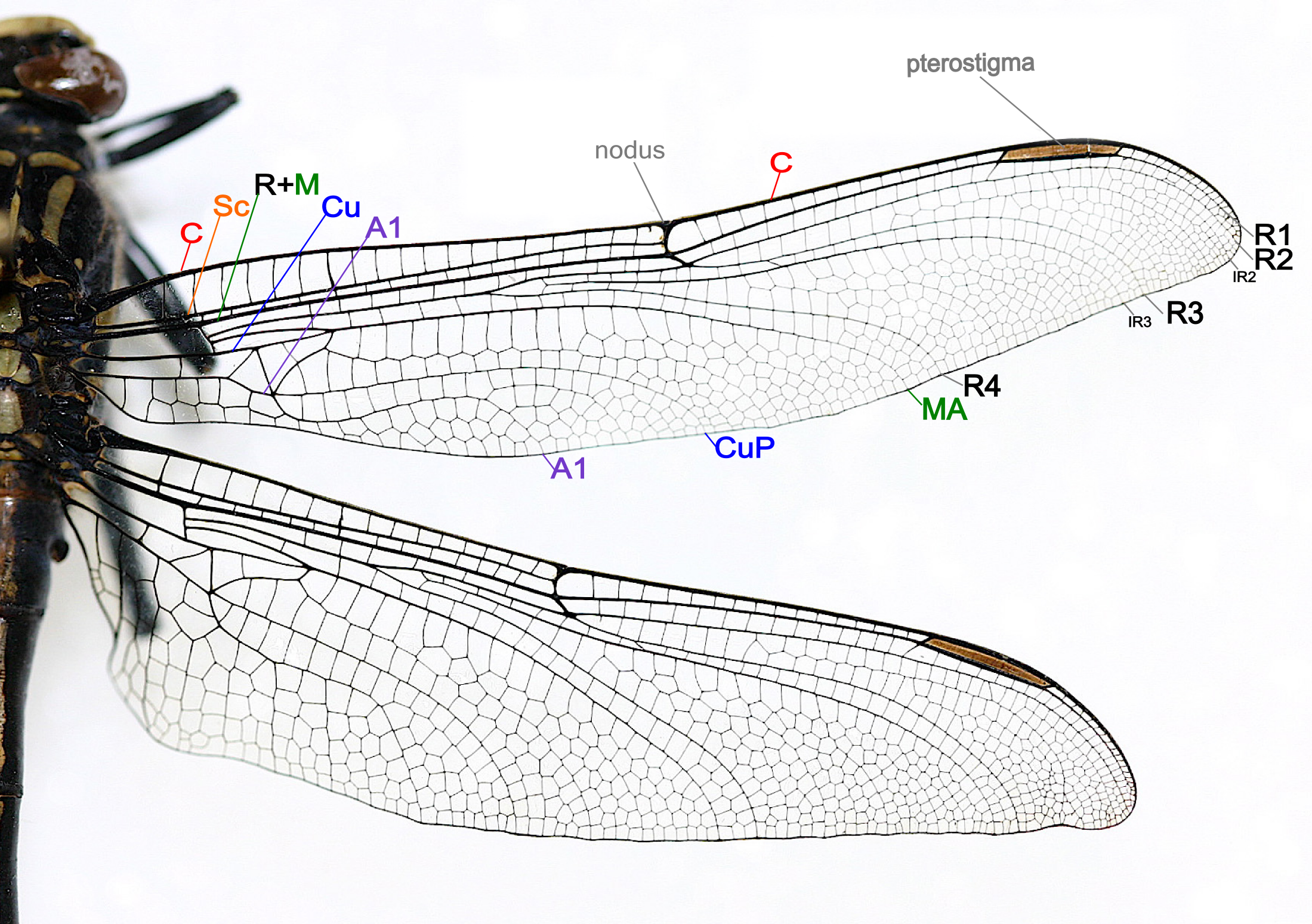 Praying mantis anatomy diagram google search four clowns dragonfly wing structure insect wing wikipedia the free encyclopedia pooptronica Image collections