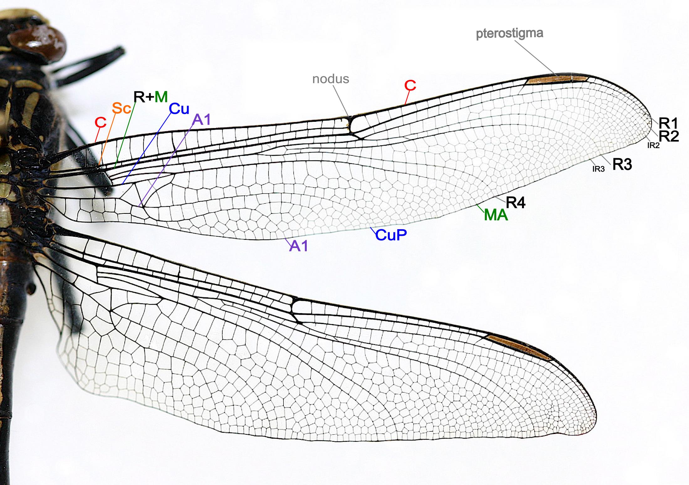 praying mantis anatomy diagram google search [ 2199 x 1549 Pixel ]