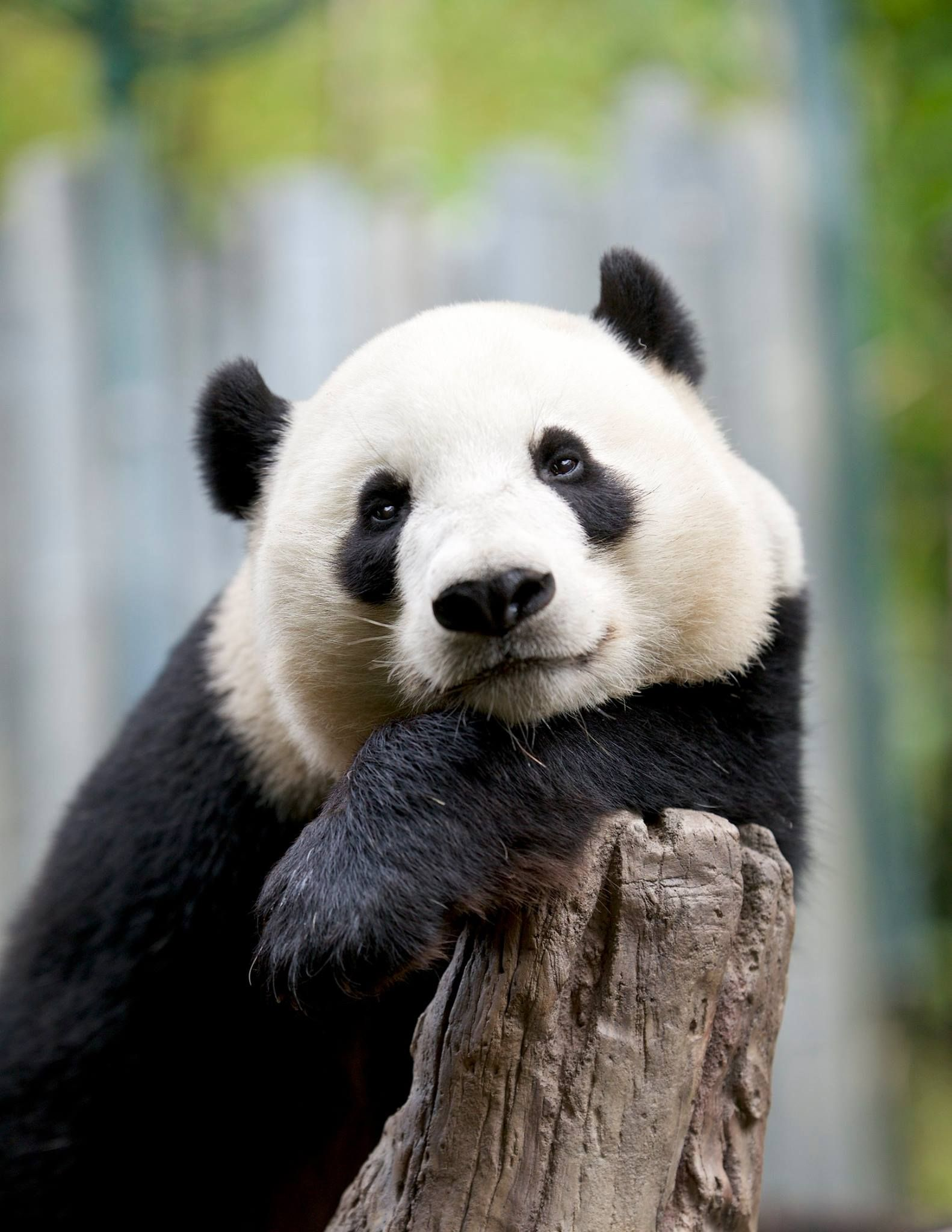 Giant panda Yun Zi by Mollie Rivera