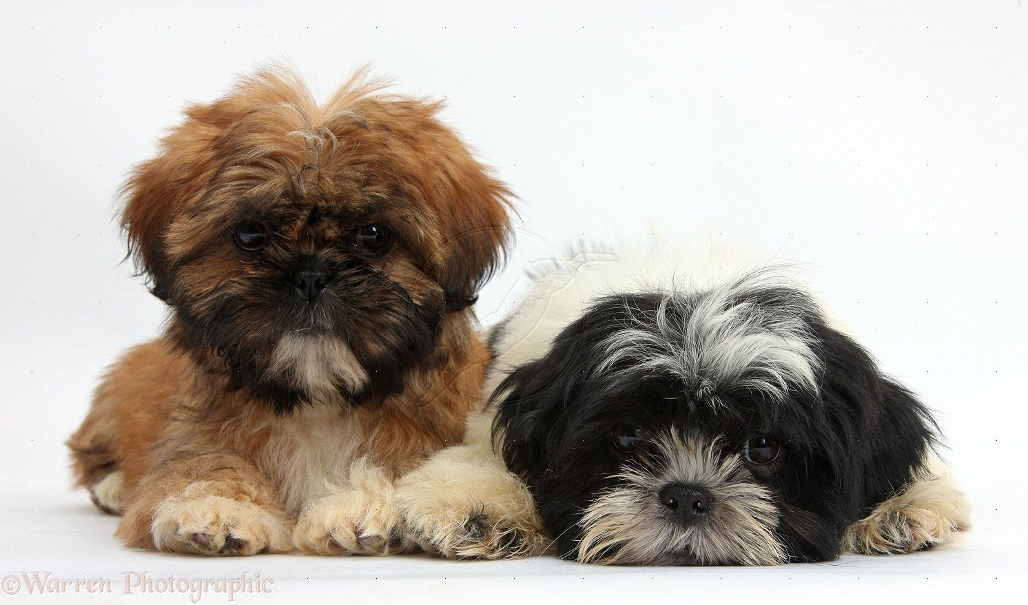 what does a shih tzu dog look like black shih tzu puppies they look like ragamuffins lol 4854