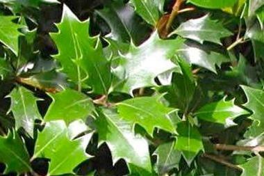 Osmanthe heterophyllus  L'Osmanthus heterophyllus (Osmanthe heterophyllus) est une plante à feuillage persistant convenant parfaitement à la création d'une belle haie dense. Le feuillage de l' Osmanthe heterophyllus est vert foncé. Les jeunes feuilles de l'Osmanthe heterophyllus sont très épineuses, mais avec l'âge, elles deviennent beaucoup plus lisses.