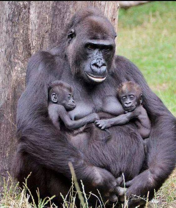 Mama Gorilla with her twins http://ift.tt/2gtlaqz