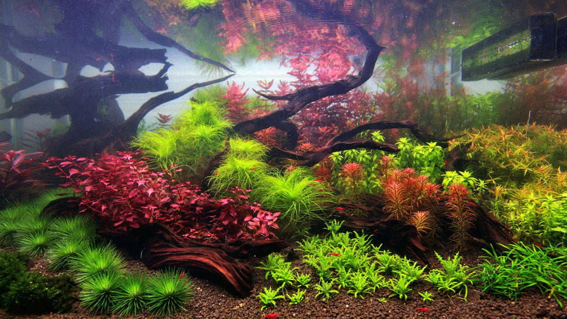 The Intricate Beauty Of Dutch Style Aquariums   Okeanos Aquascaping    Custom Freshwater Aquarium Styles