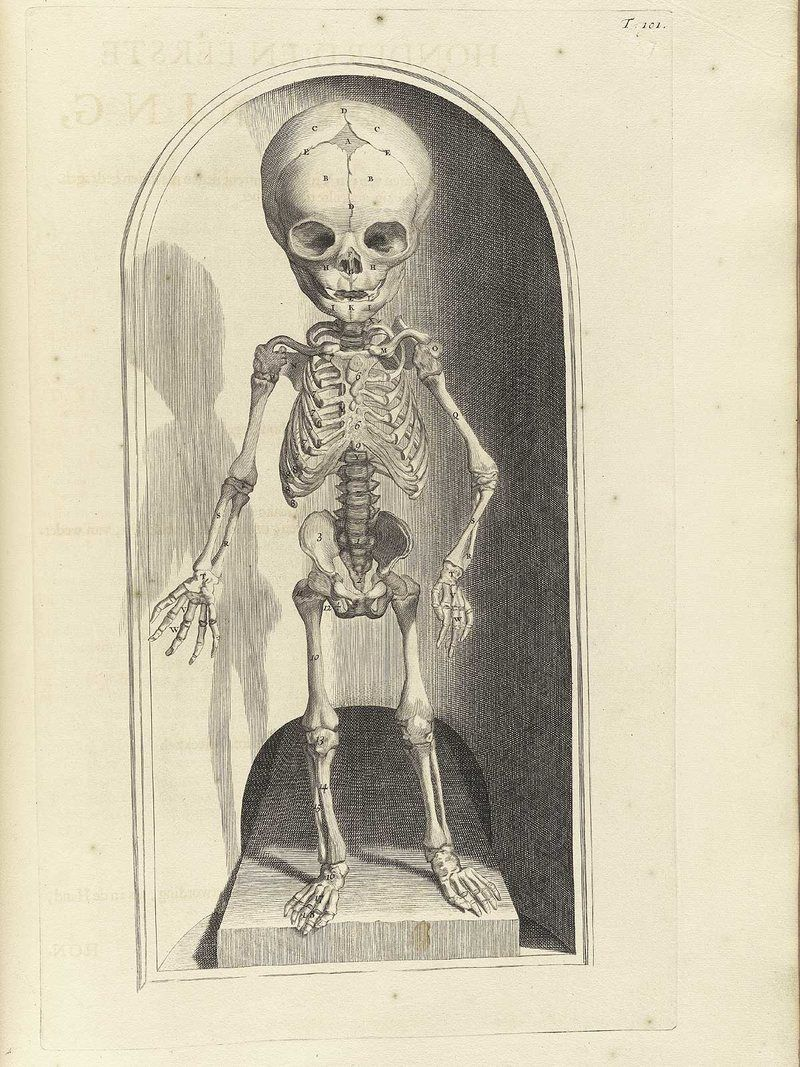 fetus anatomical skeleton illustration by govert bidloo from the late 17th century [ 800 x 1067 Pixel ]