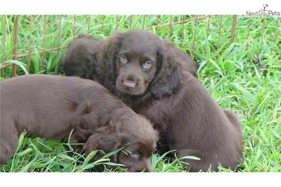 Marty Pups Boykin Spaniel puppy for sale near Greenville