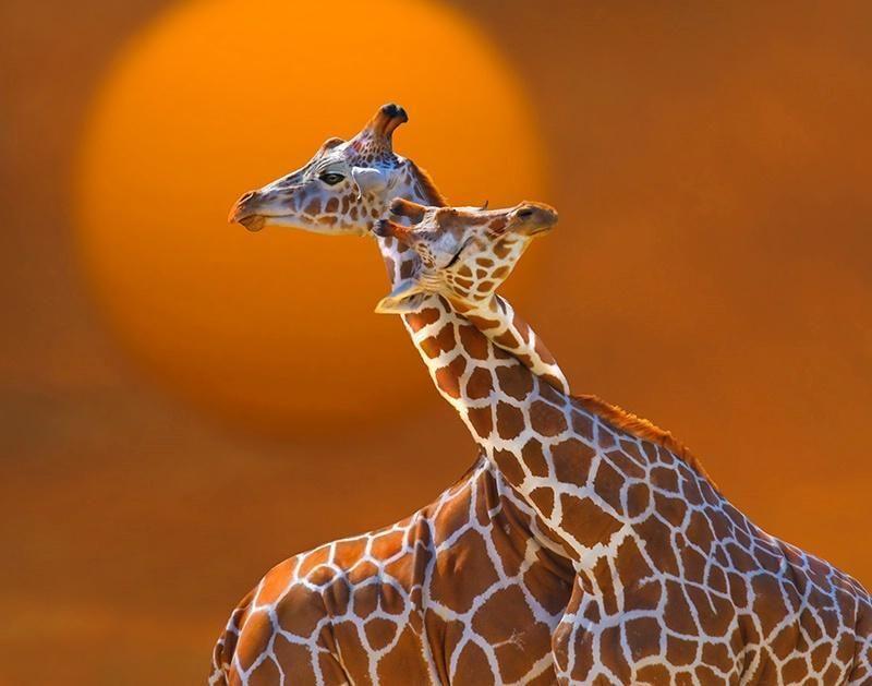 A giraffe hug