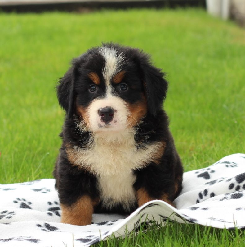 Bernese Mountain Dog Puppy For Sale In Gap Pa Adn 47442 On