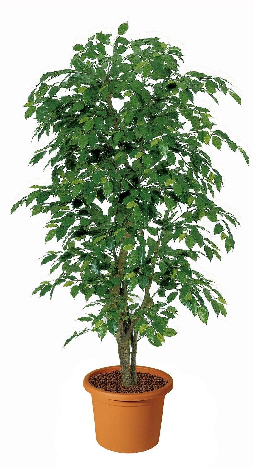 Ficus benjamin render pinterest ficus for Piante appartamento buio