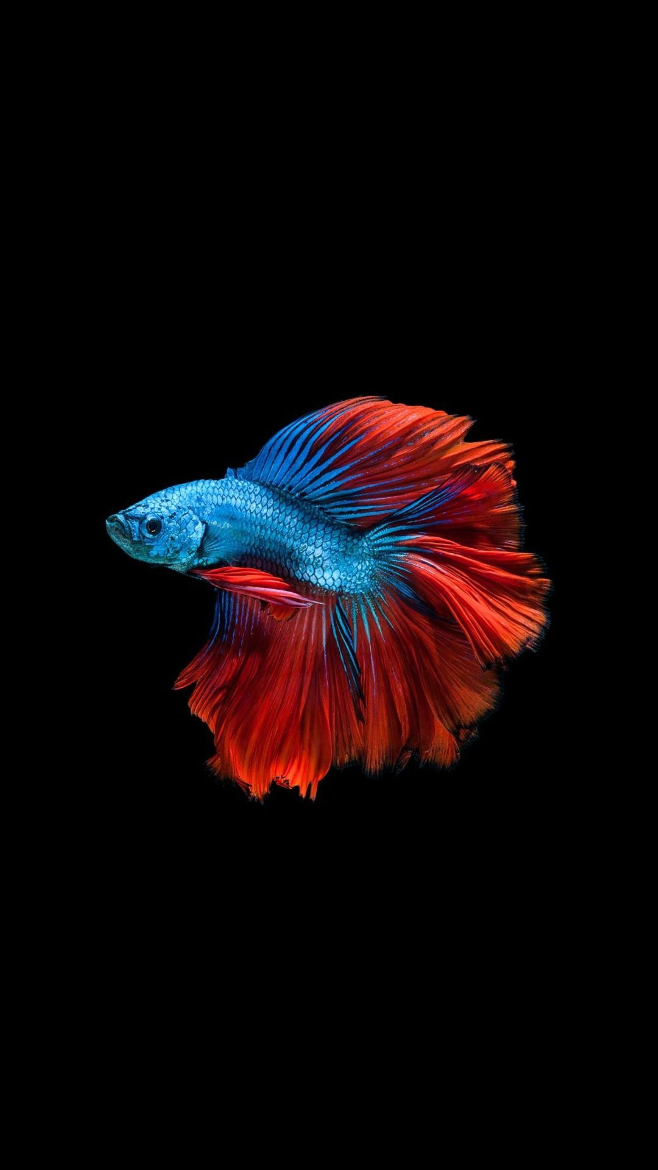 Amoled Animal Wallpaper Ikan Cupang Hewan Burung Cantik