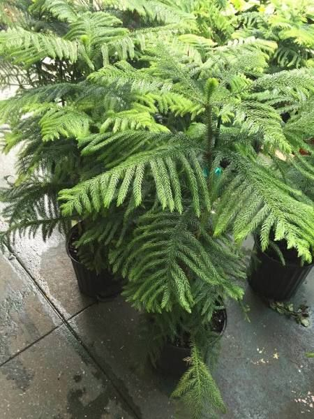 Norfolk Island Pine For Sale Garden Ideas Pinterest Container