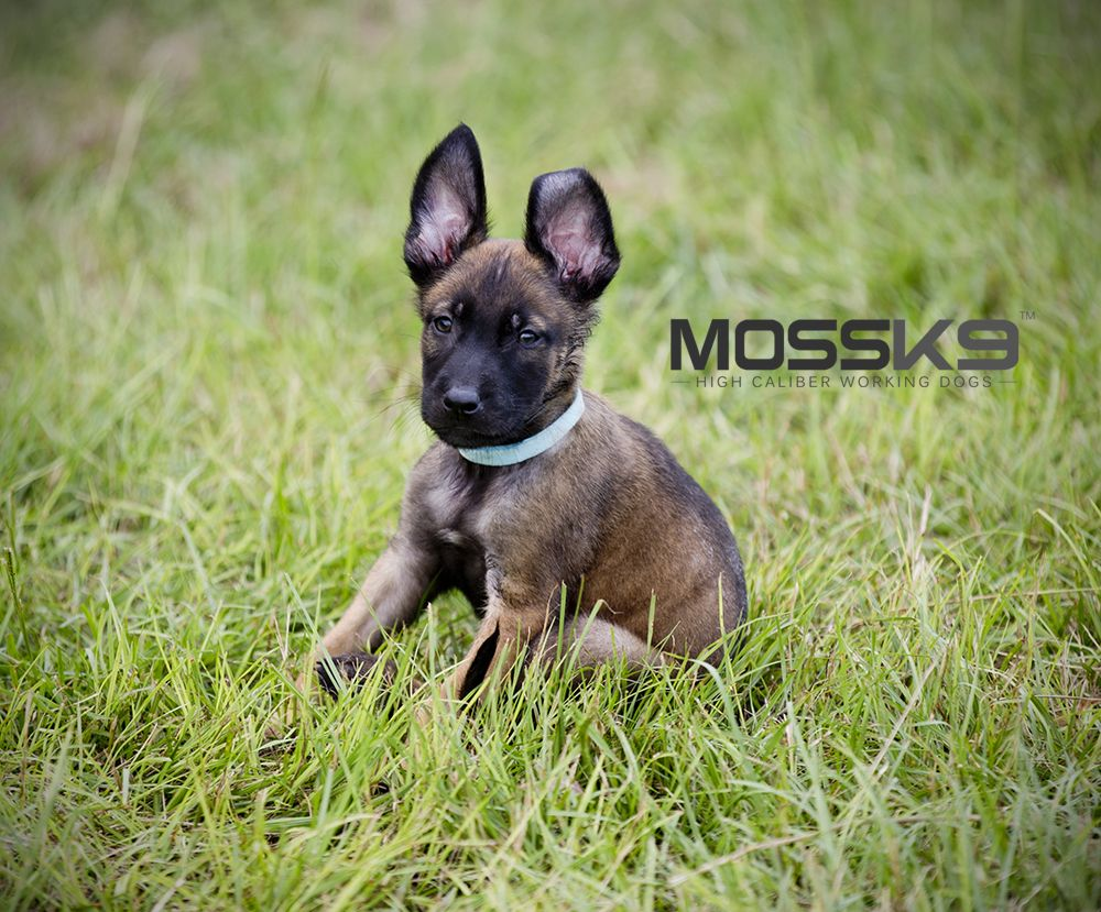 KNPV Belgian Malinois Puppies for Sale mossk9 Puppies
