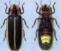1b1127a779d7ce864fdb6af0a698fd84 anatomy of a firefly personality enhancers pinterest insects