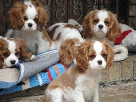 Choosing Cocker Spaniel Puppies For Sale Cocker Spaniel Puppies Spaniel Puppies For Sale Spaniel Puppies