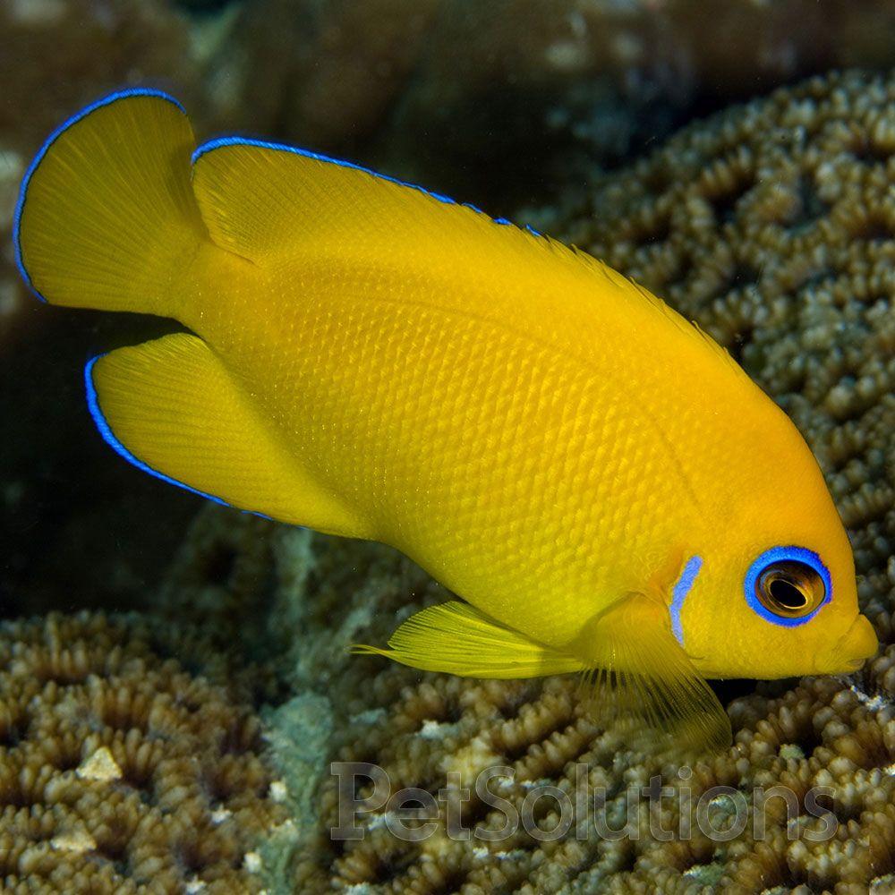 Lemonpeel Angelfish Centropyge Flavissima Western Pacific Angel Fish Marine Fish Saltwater Fish Tanks