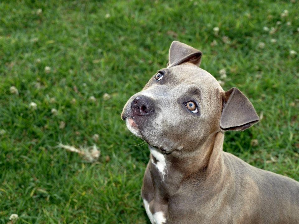 Dolce The Pitbull Cute Animals Puppies Pitbulls