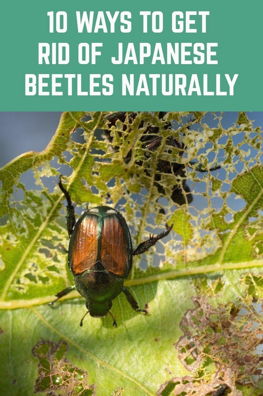how to get rid of beetles in yard