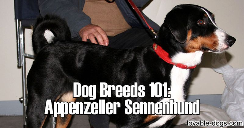 Dog Breeds 101 Appenzeller Sennenhund Dog Breeds Dogs Most