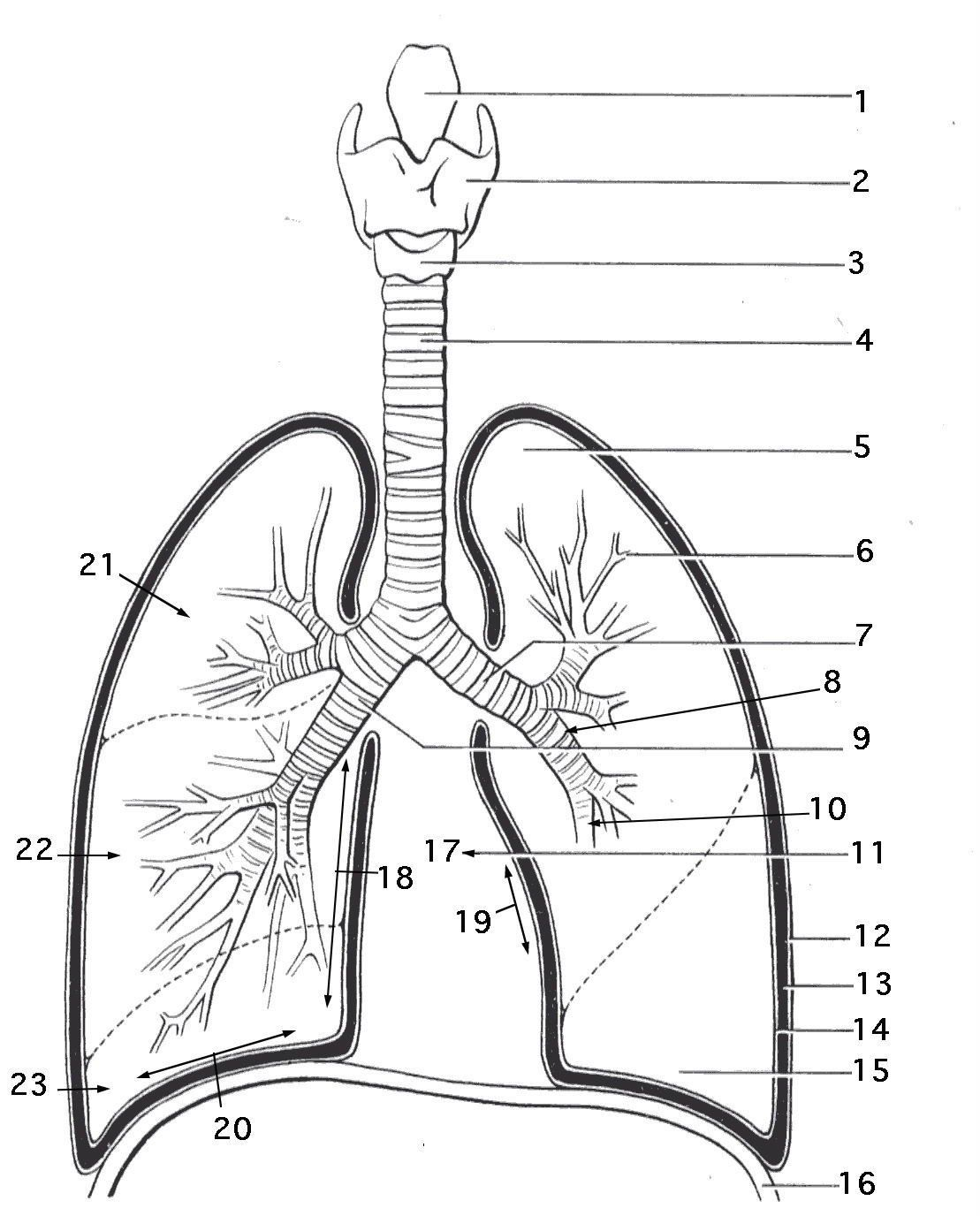 Anatomy Coloring Pages Lung Anatomy Coloring Page