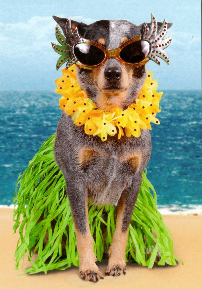 **I MISS MY DOGGY!!!! Australian Cattle Dog in Hawaiian