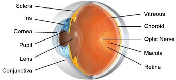 Pin by shifa ali on organsofthebody pinterest human eye and pin by shifa ali on organsofthebody pinterest human eye and eye facts ccuart Gallery