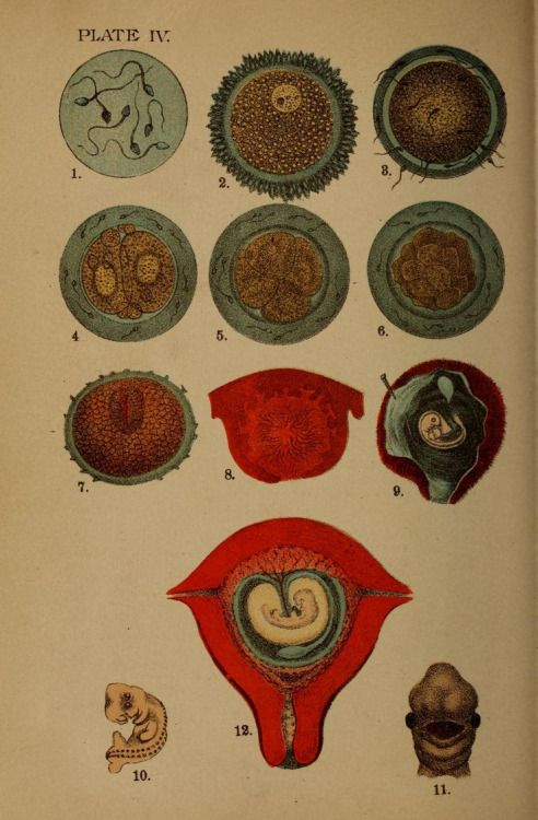 Plate IV. Conception. Plain home talk about the human system. 1896 ...
