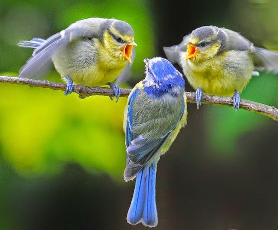 три птички картинки буду никого ругать