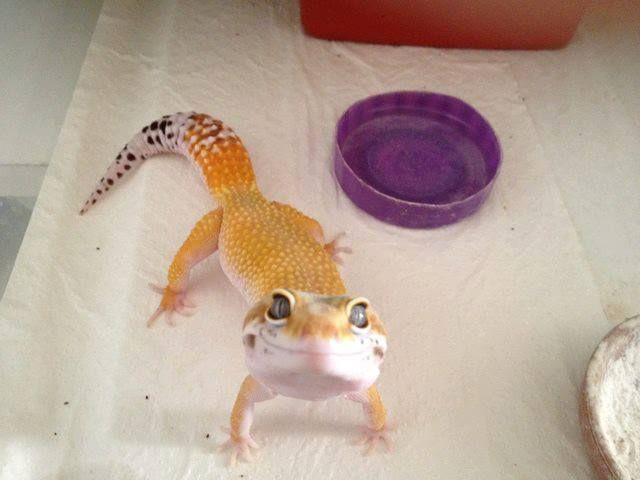 Biologia-Vida Momento fofura de hoje: lagartixa fotogênica (:   Today's cuteness moment: photogenic gecko (: