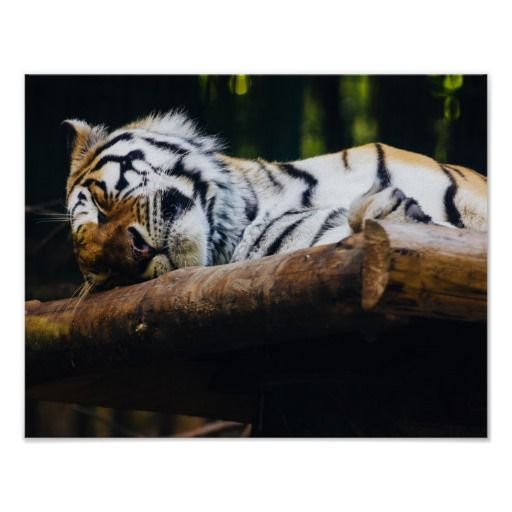Sleeping Tiger, Animal Photography Posters