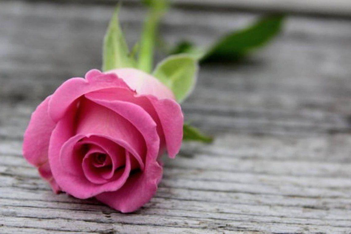 Gambar Bunga Mawar Pink Setangkai Mawar Pink Mawar Bunga