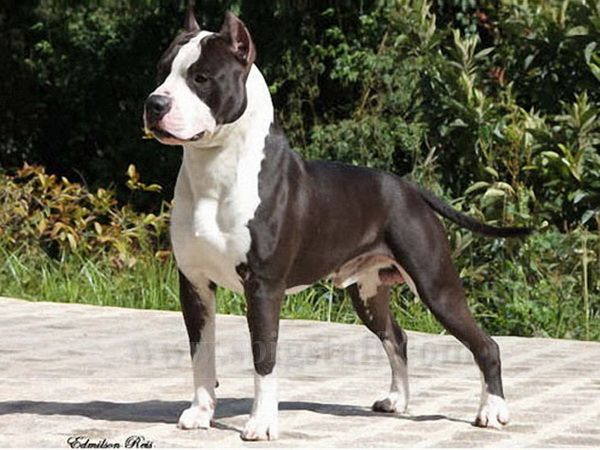 Multi Ch Fabled Don King Of Rings Pitbull Terrier Staffordshire Terrier Dog Breeder