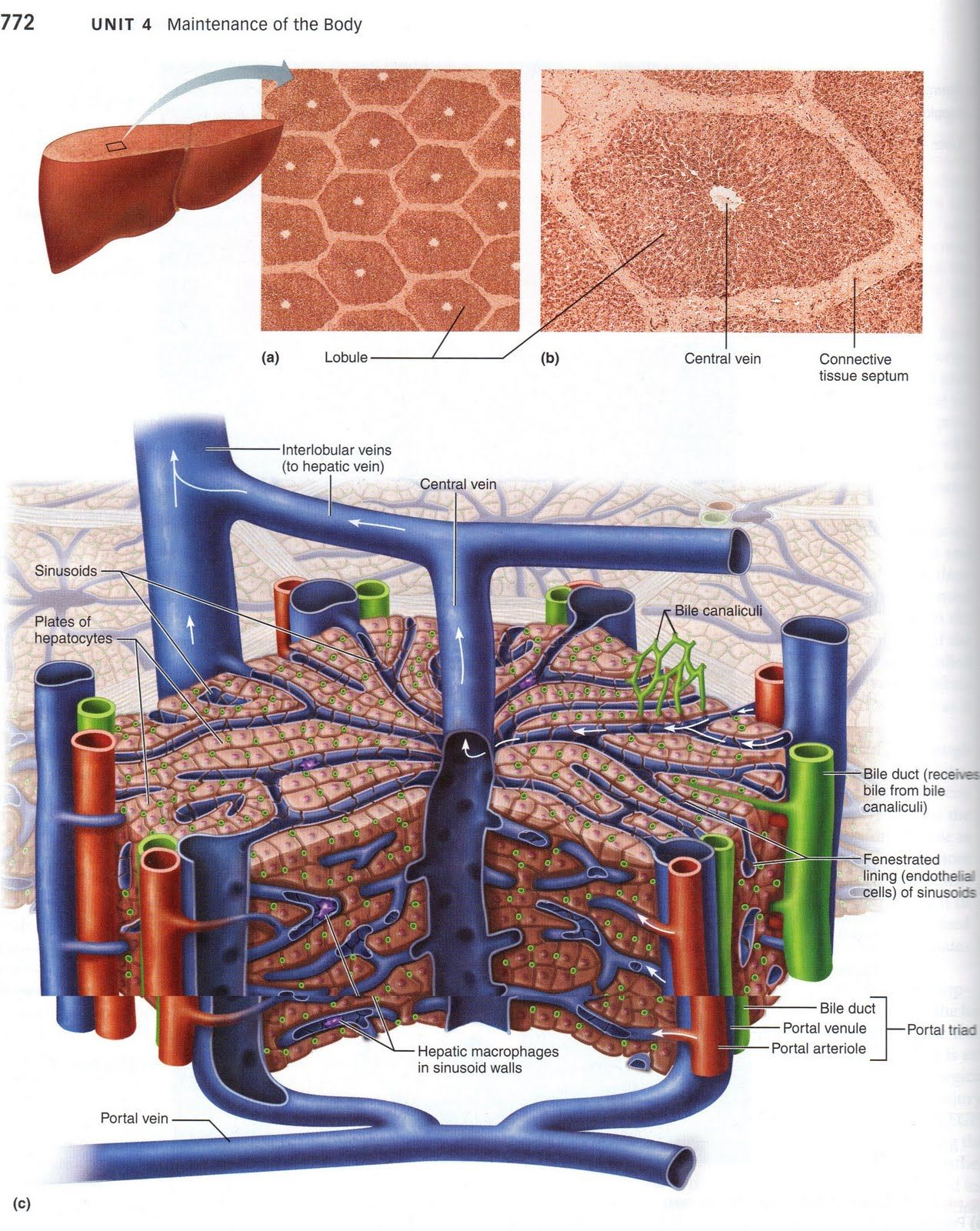 microscopic liver lobe segment model l… | 3 Human Anatomy and ...