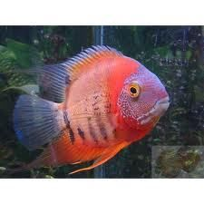 RED HEAD SEVERUM CICHLID 3 TO 5cm LIVE TROPICAL FISH at Aquarist Classifieds ~ Severums are peaceful.  Mine died.  Parrot fish might be part from these.  My parrot fish have fins just like this.