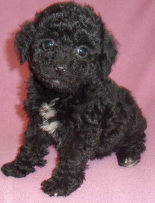 Rose Female Teddy Bear Bich Poo Puppy For Sale In Ohio 400