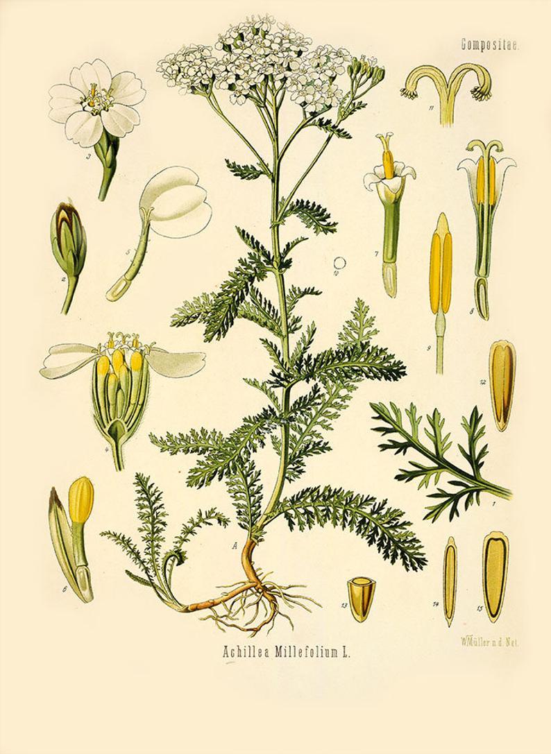 Vintage Botanical Print Yarrow Vintage Print Medicinal Plant Etsy In 2020 Medicinal Plants Achillea Millefolium Botanical Illustration