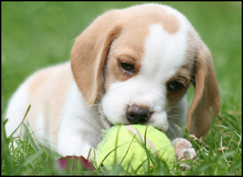 A Beagle Puppy Lemon Beagle on...